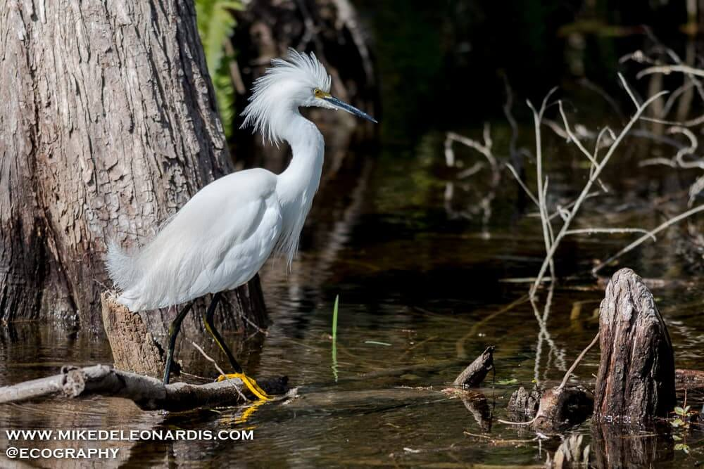 Snowy White Egret in Big Cypress National Preserve, Florida