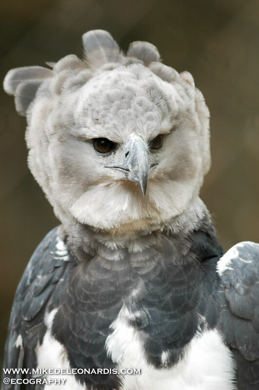 Harpy Eagle at Texas Zoo